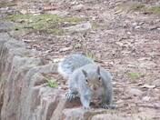 A grey squirrel as seen on the wall by Madeira Walk