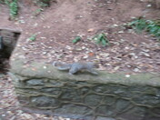 A grey squirrel by the footpath at Beacon Hill, Exmouth