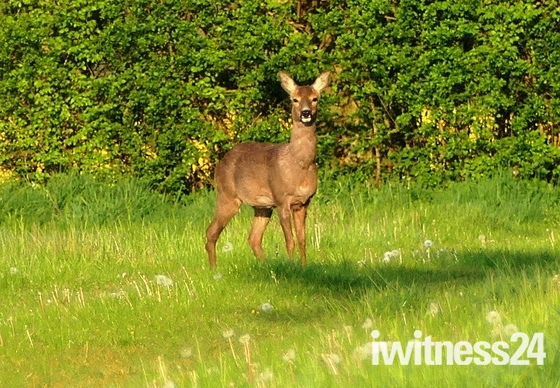 Roe deer hind in the early morning sun.