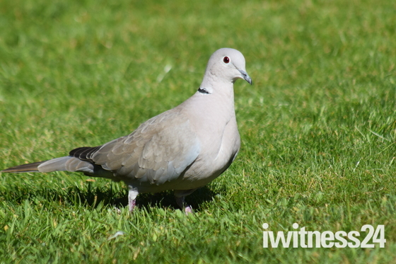 Collar Dove after food.
