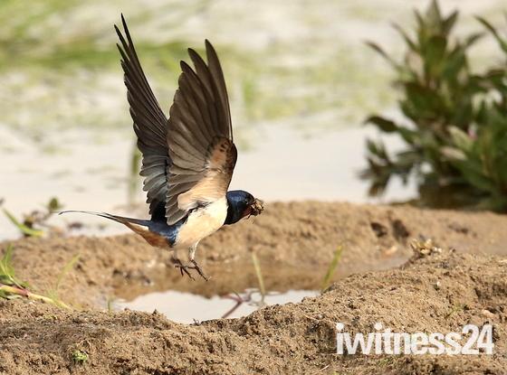 Swallows at Fen Farm yesterday.