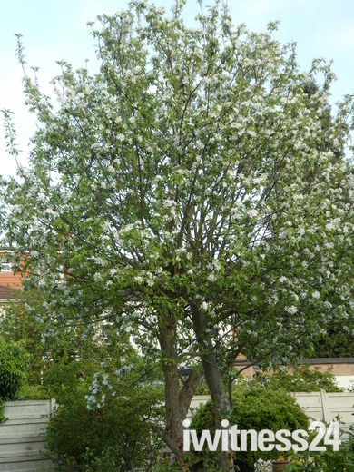 Flowering on apple tree.