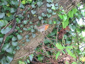 A robin spotted under the trees by the Exe Estuary cycle track.