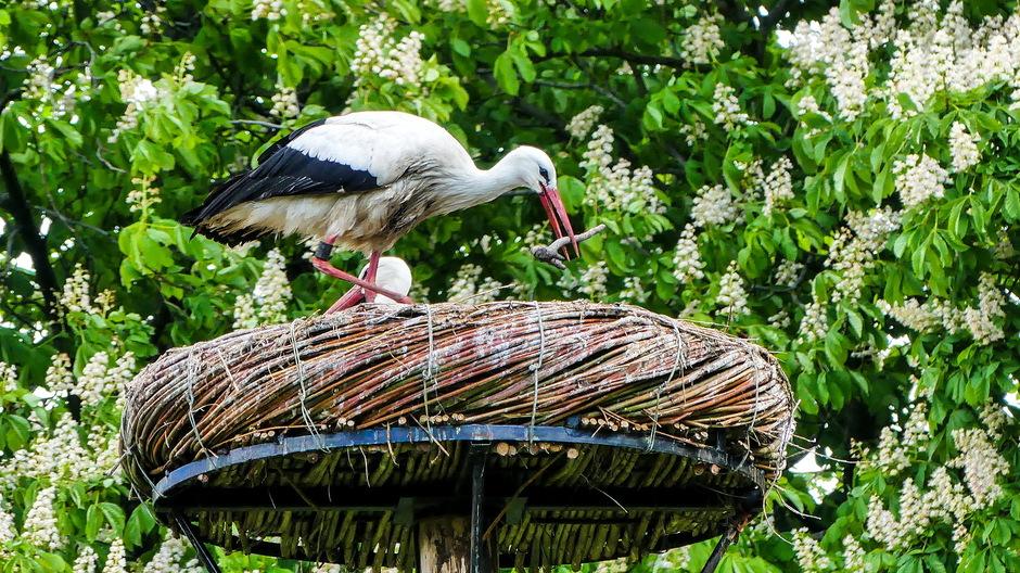 Ooievaarspaar op nest