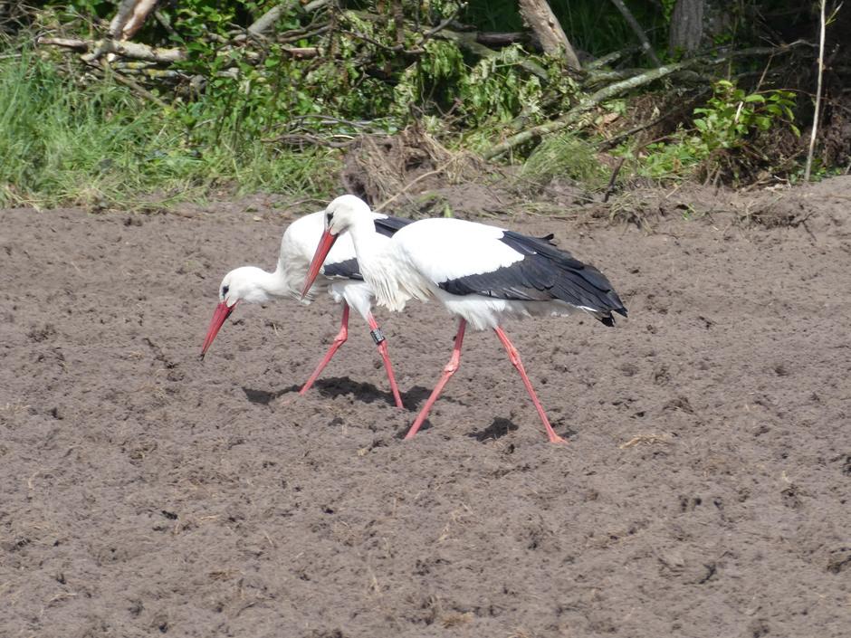 Ooievaarspaar op zoek naar eten.