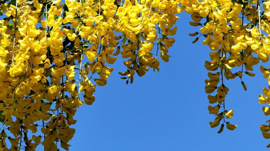 Zonnige gele goudenregen tegen strak blauw