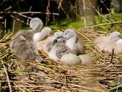 fen park swans