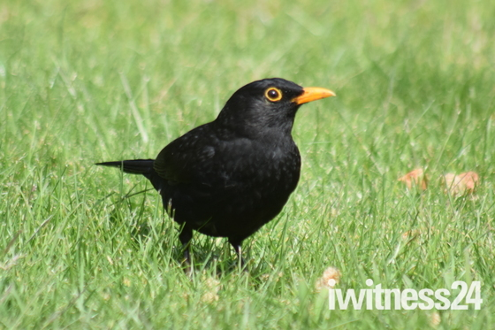 Blackbird still feeding brood.