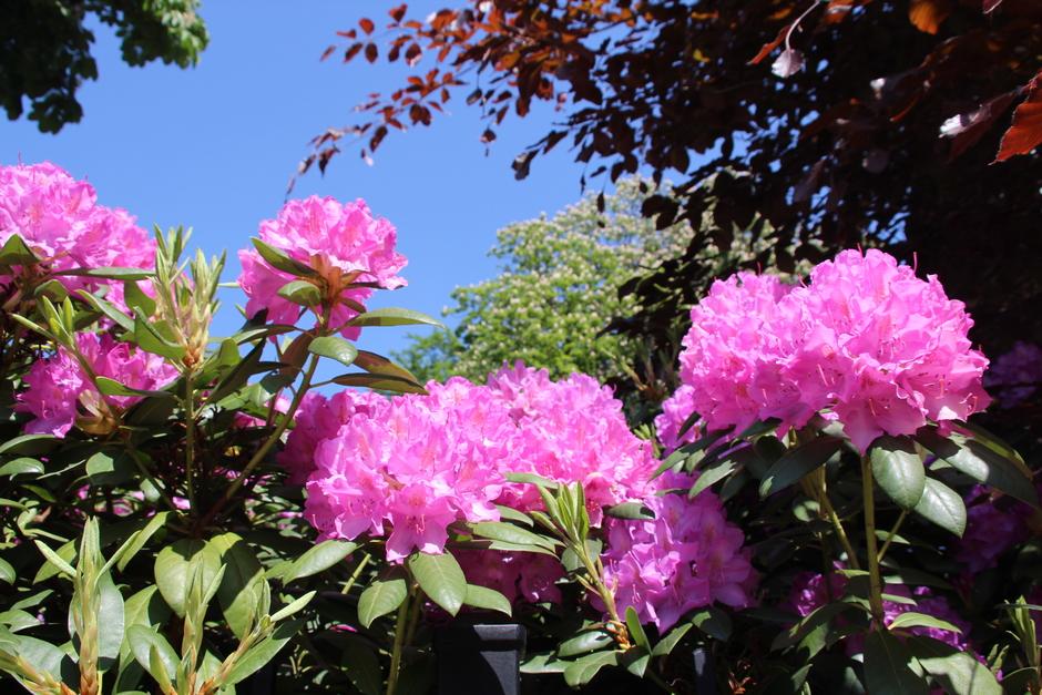 Roze rododendron in het zonnetje.