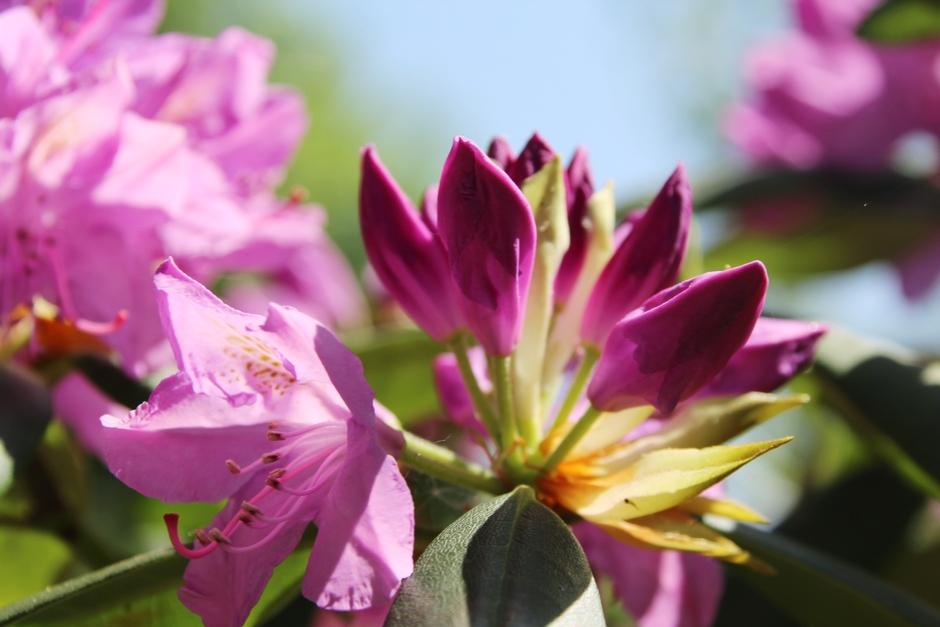Prachtig  bloeiende rododendron