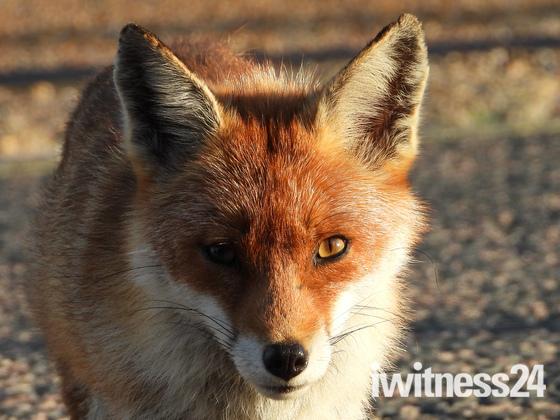 The stare of the Fox