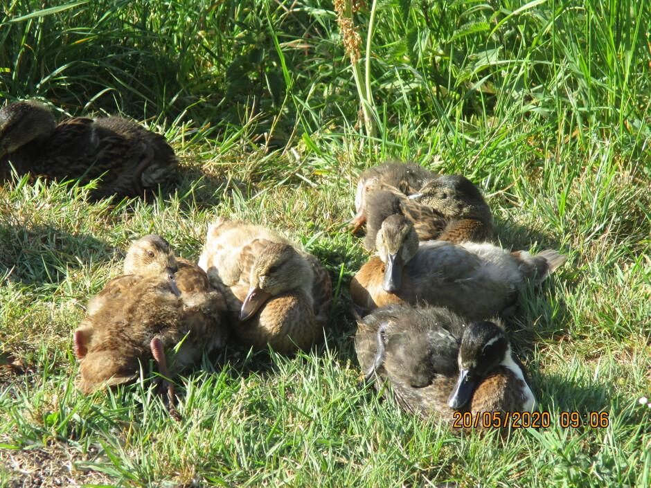 Nest met jonge eendjes in het zonnetje