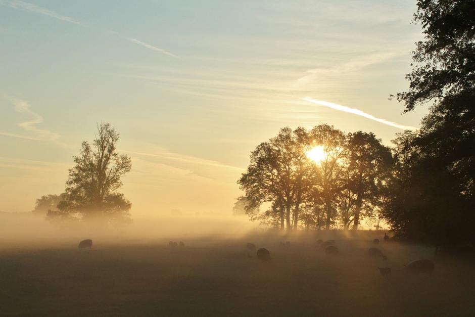 schaapjes in de mist vanmorgen vroeg
