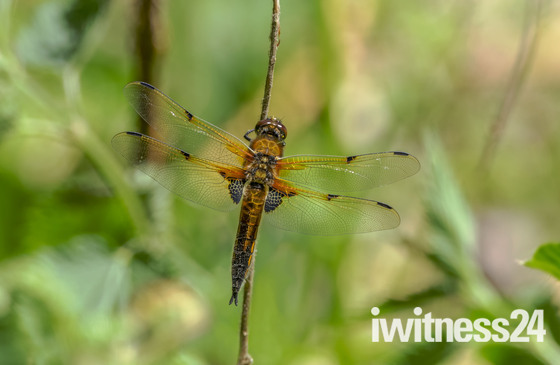 Female Broad Bodied Chaser Dragonfly