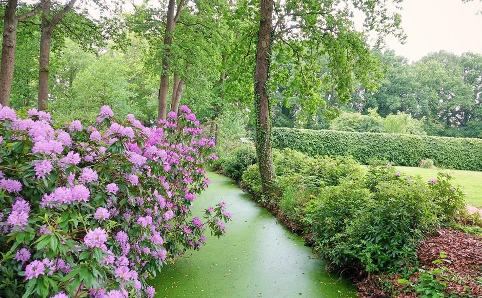 Grijze start van de dag. Rhododendrons  geven kleur..