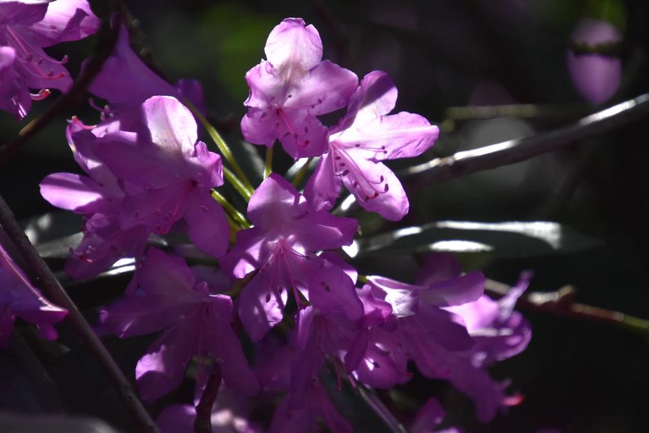 Zon op de rhododendron