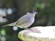 Garden bird lockdown invasion.