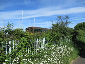 Daisies in bloom by the cycle track/ footpath