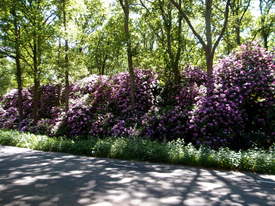 27-05-2020 Rododendrons