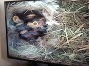 Blue tit eggs and chicks filmed in a camera box.