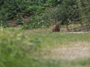 Hare - on a walk!!