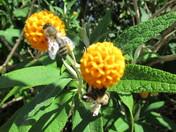 Bees Pollinating on the orange buddeja globosa flowers