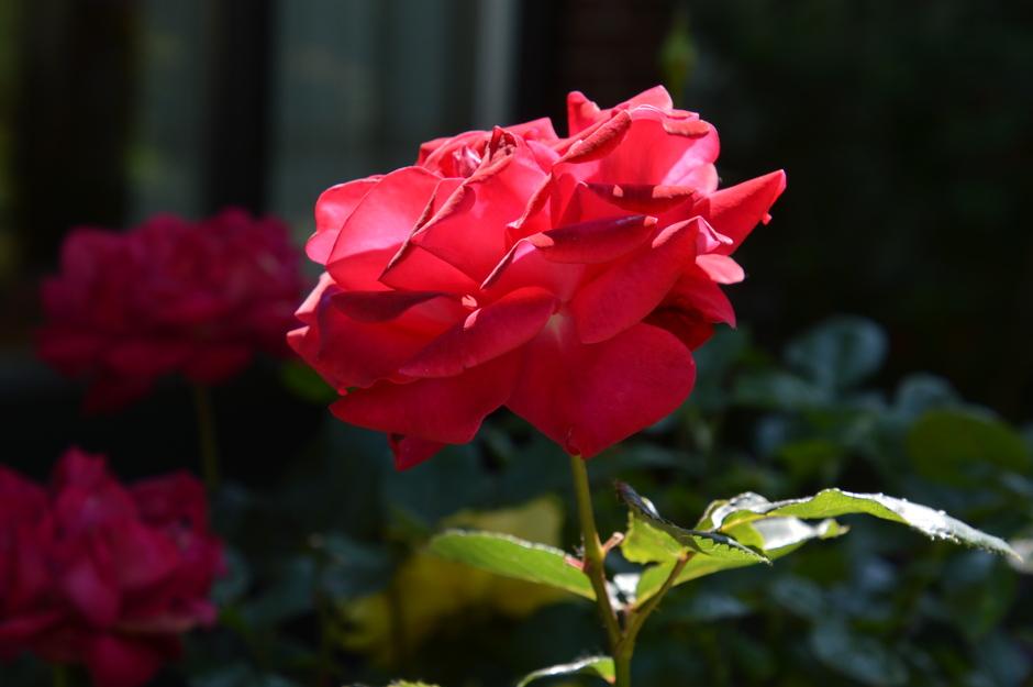 Roos in de zon