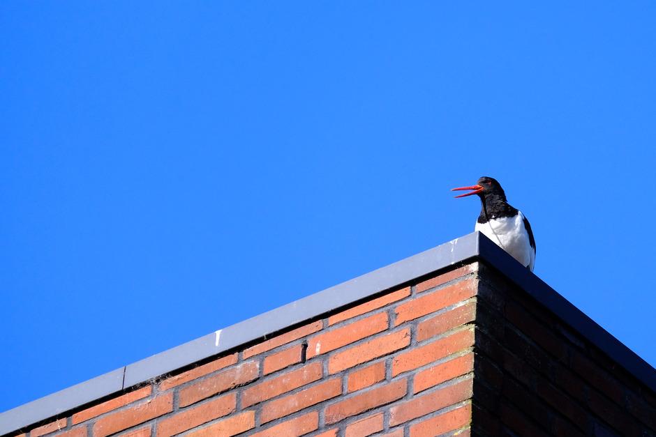 schreeuw van de daken