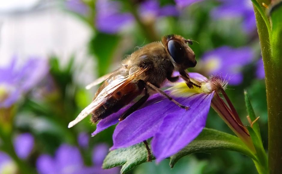 Bij op zoek naar nectar.