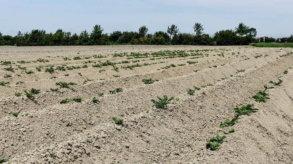 Droog aardappelveld