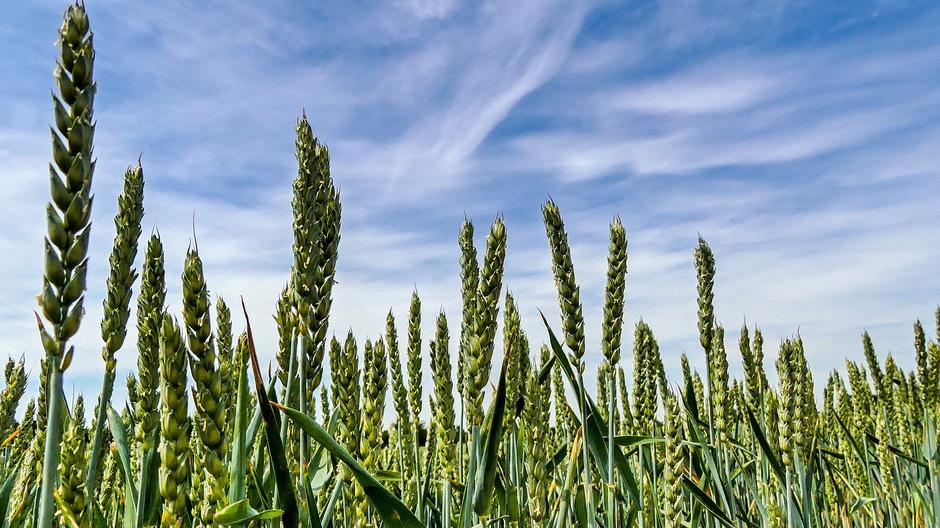 Sluierwolken boven het graan