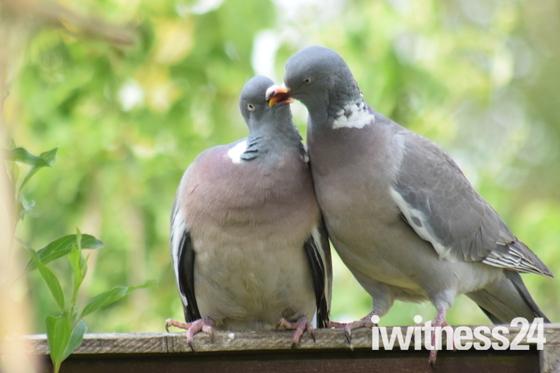 Woodpigeon lovebirds.