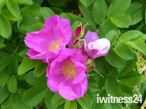WILD ROSE IN THE HEDGEROW
