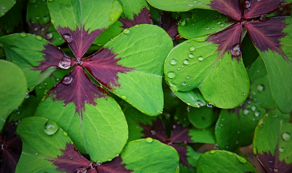 Klavertje Vier  in mijn hof met regendruppels vanmorgen