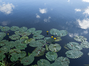 Water lilies & clouds