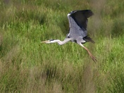 Heron on the marshes