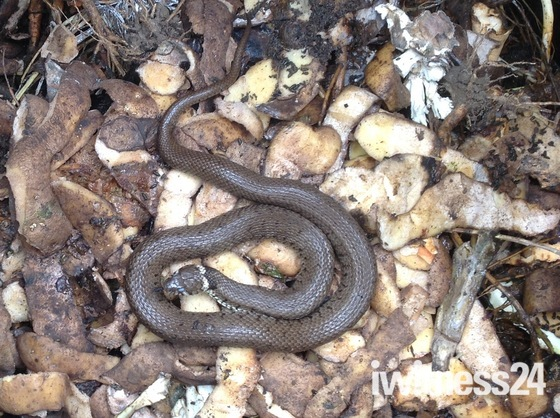 Grass snake in the compost bin