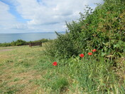 Red poppies at the grounds from Foxholes Hill, Exmouth