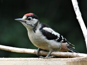 A Juvenile Great Spotted  Woodpecker.