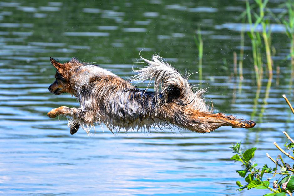 Hond neemt frisse duik
