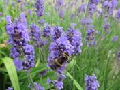 A bumble bee polinates the lavendar