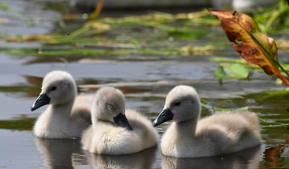 Jonge zwaantjes.