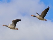 Looking Up : geese in flight Project 52