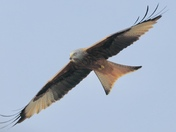Looking Up: Red Kite over my house Project 52