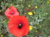 Bee pollinating a red poppy.
