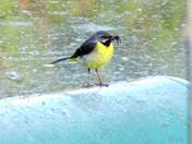 grey wagtail seen by the river this morning, deliverin breakfast for her chicks
