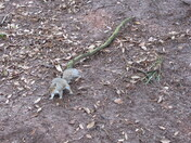 A grey squirrel in Madeira Walk, Exmouth