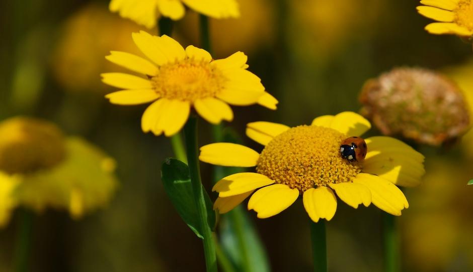 Lieveheersbeestje op bloem