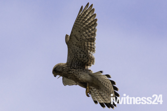 Sparrowhawk entertaining visitors to Jacob's Ladder