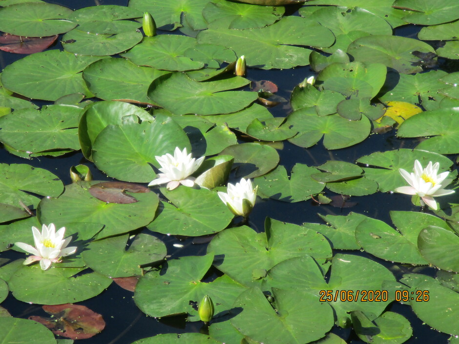 Waterlelie,s volop al open in de volle zon